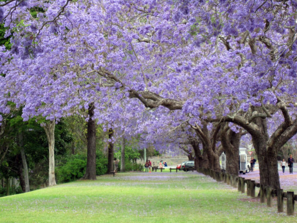 https://www.jtb.co.jp/kaigai_guide/report/AU/2014/07/jacaranda.html